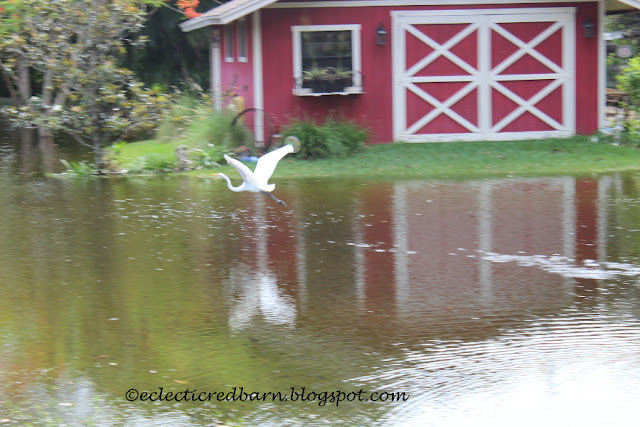 Eclectic Red Barn: Great Egret flying