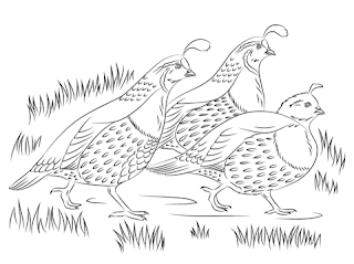 Cute Quail Coloring Pages For Kids