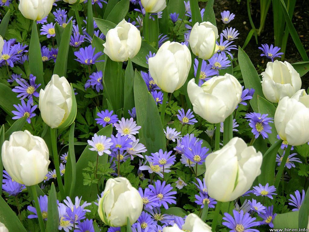Flowers Wallpapers: White Tulips Flowers Wallpapers