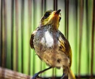 3 Ciri Ciri Fisik Burung Cucak Kombo Bahan Trotol Jantan