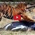 Tiger Attacks Man: Real Tiger Attack Stunt