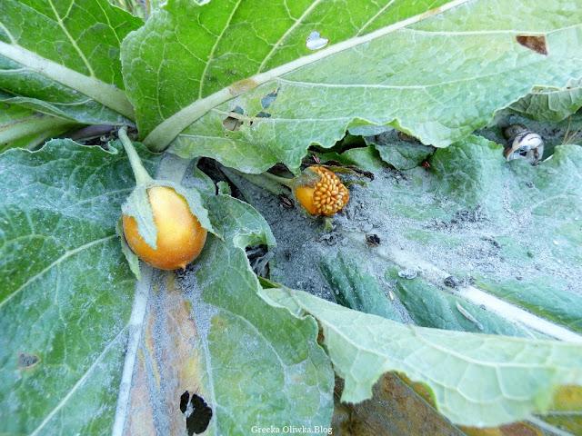 dojrzałe, jajowate koloru pomarańczowego owoce mandragory na zielonych liściach rośliny
