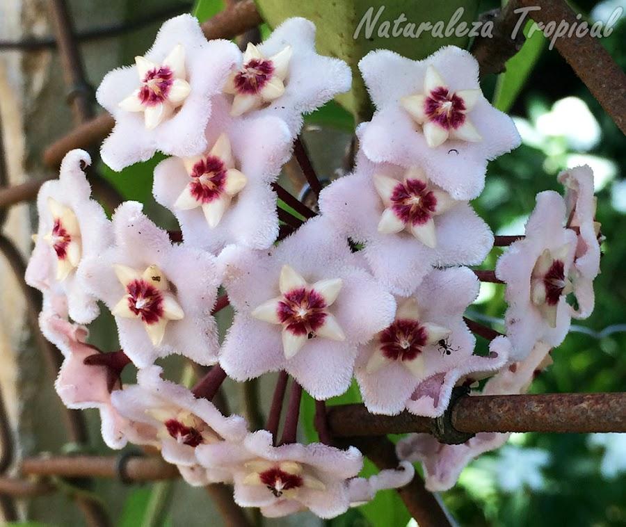 Floración típica de la especie Hoya carnosa