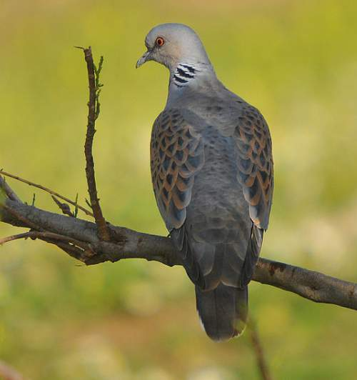 Indian birds - Image of European turtle dove - Streptopelia turtur