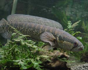 Jenis Ikan Gabus