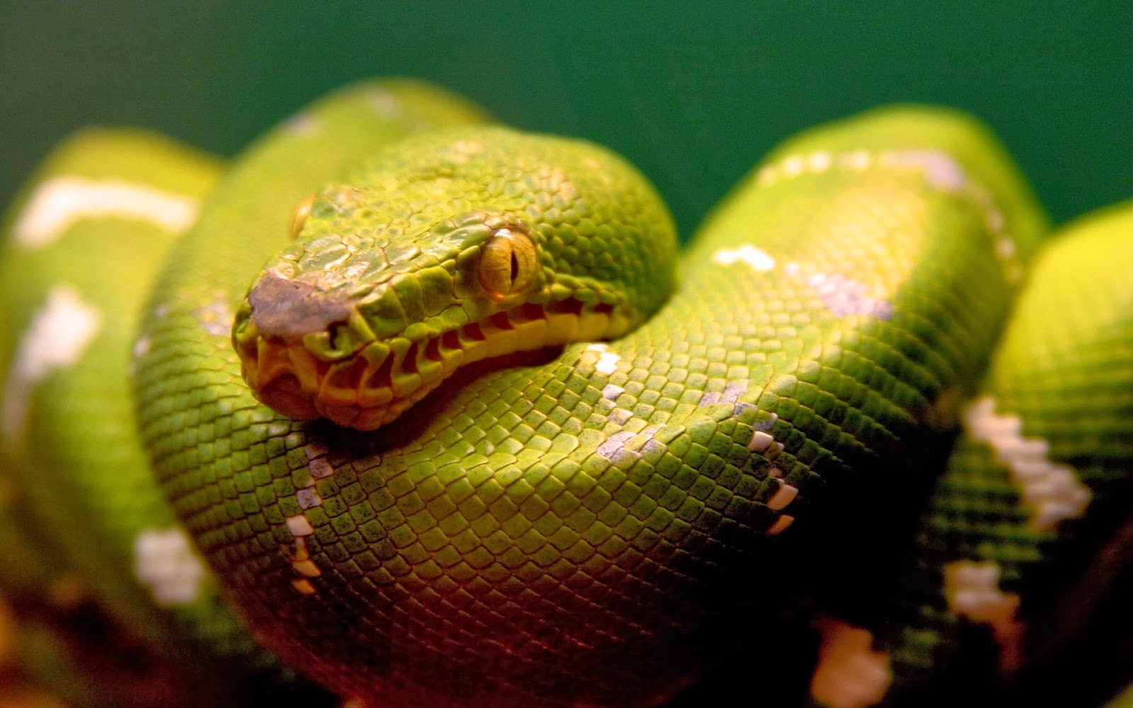 Snakes HD Wallpapers |...