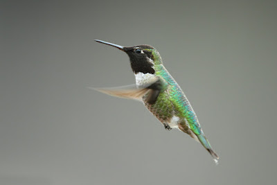 Evolutionists cannot explain other-bird-to-hummingbird evolution, let alone full-fledged bird evolution. They are clearly the work of our Creator!