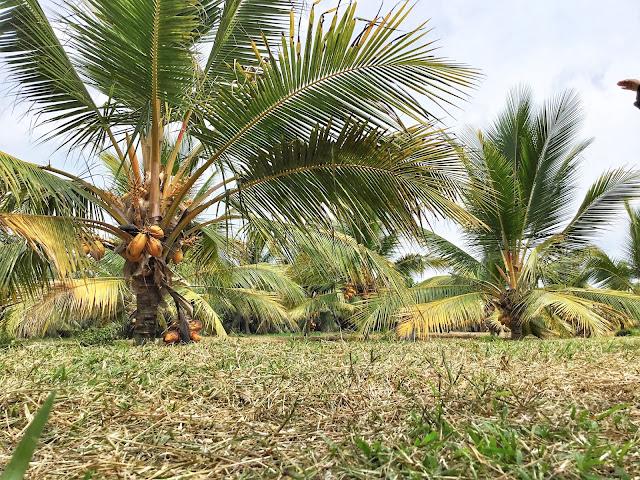Hala Tuju Industri Pelancongan Agro Berasaskan Kelapa di Bagan Datuk, Perak.