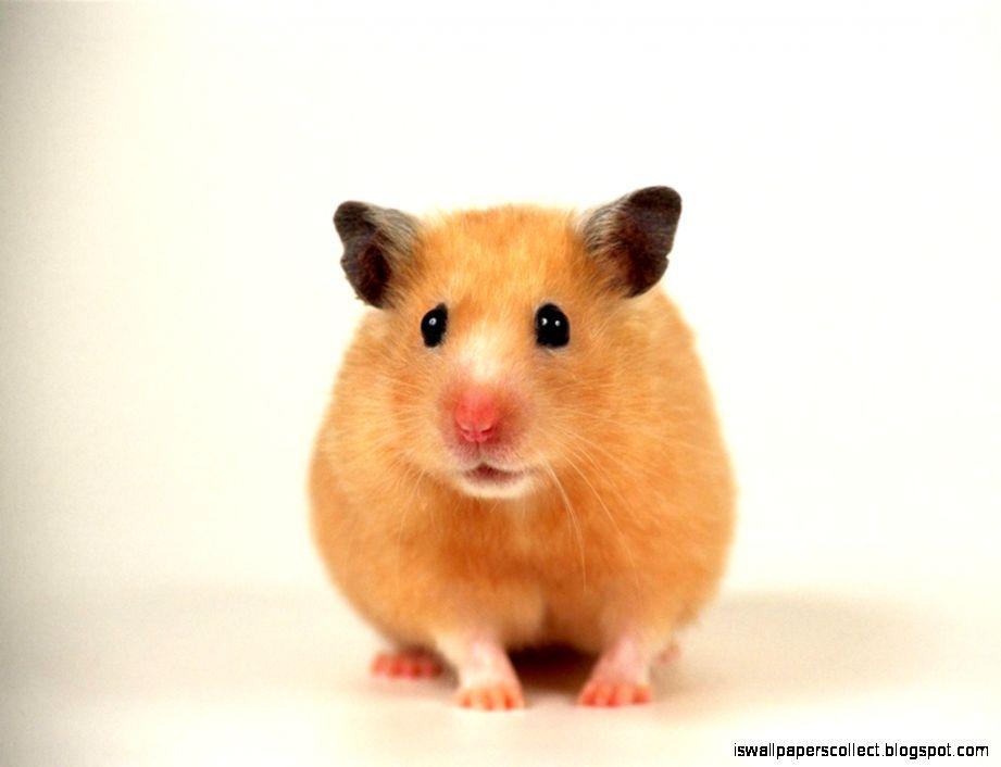 Www hamster com download