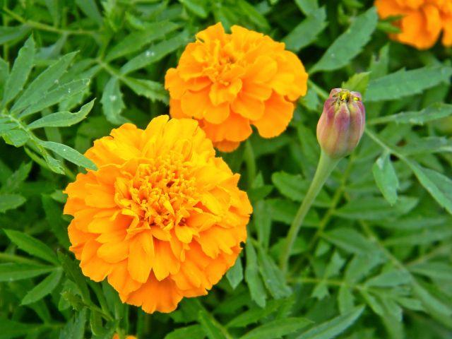 kwiaty, pąki, liście, ogród, uprawa