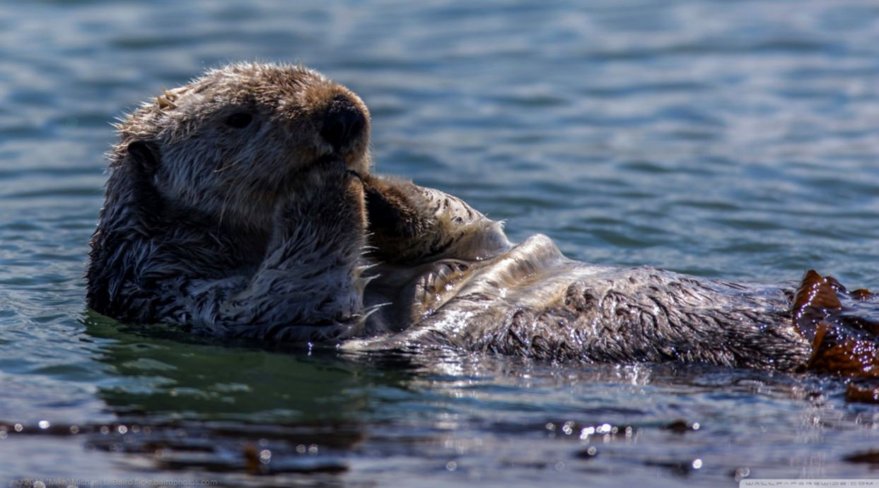 Sea Otter Hd Wallpapers Wallpapers Legend