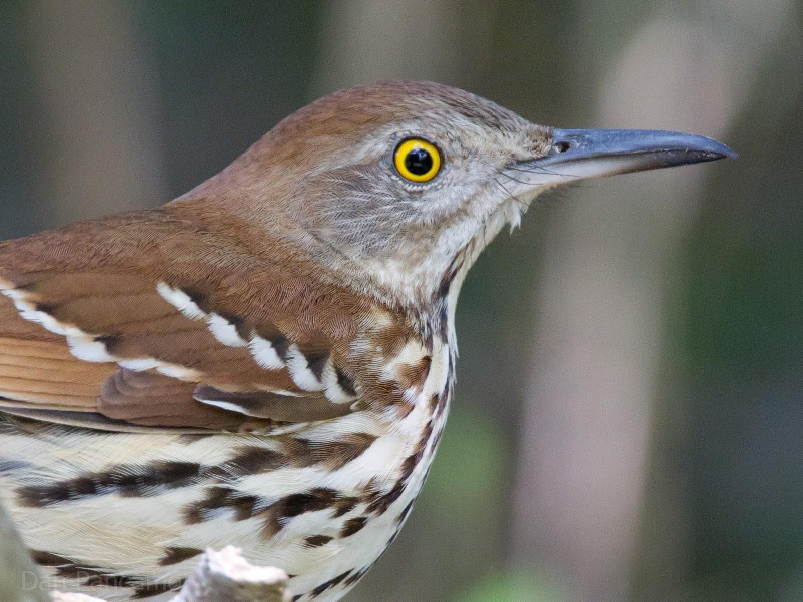 North Carolina Mountain Ptice Brown Thrasher-3132