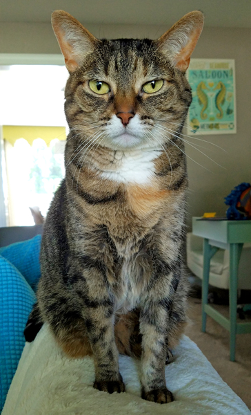 image of Sophie the Torbie Cat sitting on the back of the sofa, with a Very Serious look on her face