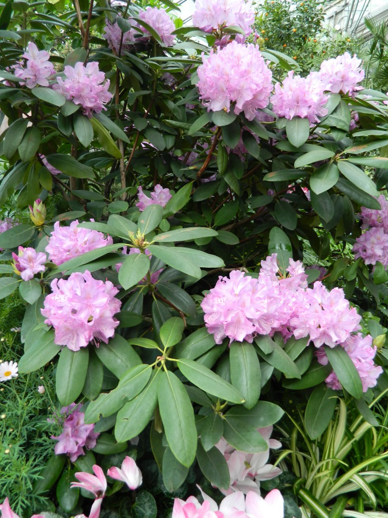 Allan Gardens Conservatory Easter Flower Show 2013 mauve Catawba rhododendron by garden muses: Toronto gardening blog