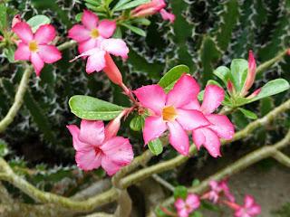 Rose du désert - Adenium obesum - Adenium coetaneum