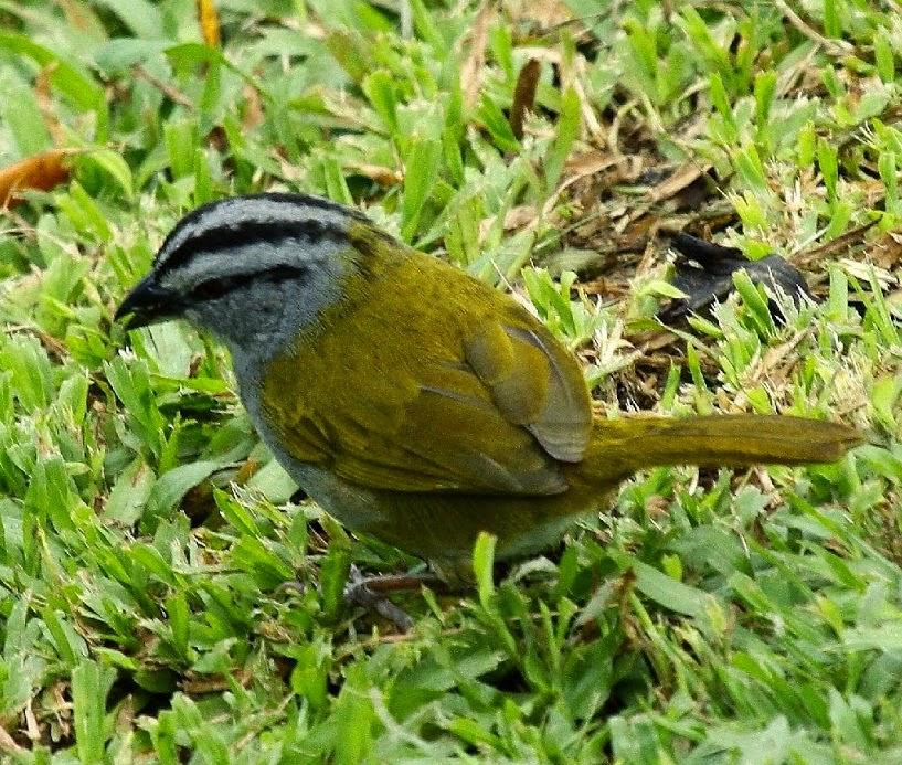 Kicau burung black-striped sparrow untuk masteran