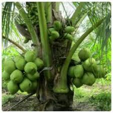 kelapa genjah entok