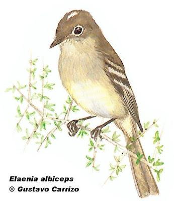 aves argentinas Fiofío silbón Elaenia albiceps
