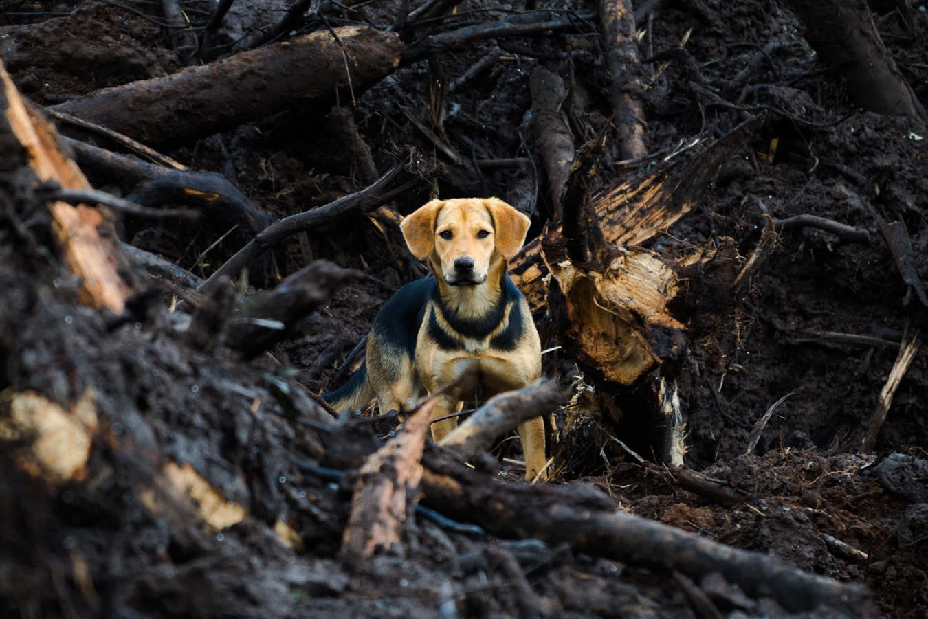 World Animal Protection tips for emergency planning with pets Beagle stands amidst burnt trees