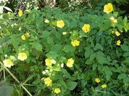 Botón de oro Pavonia sepium