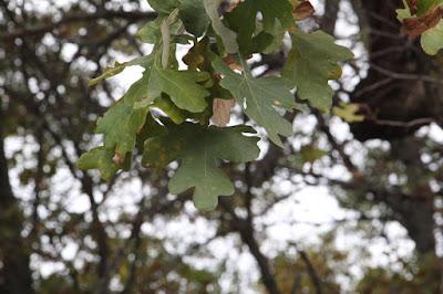 burr oak leaves