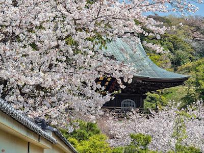 Someiyoshino sakura (Prunus × yedoensis) blossoms: Kencho-ji
