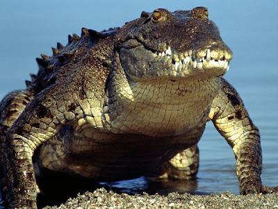 http://3.bp.blogspot.com/-zgALD9TqDDg/TwutwaaSZRI/AAAAAAAAAuE/5shitScivi4/s400/american-crocodile_219_600x450.jpg