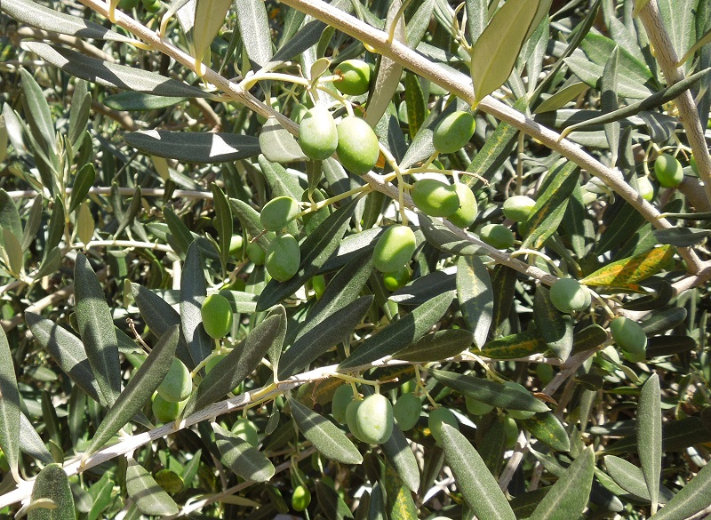 Olives at Niner's Heart Hill Location, August 8, 2015, © B. Radisavljevic
