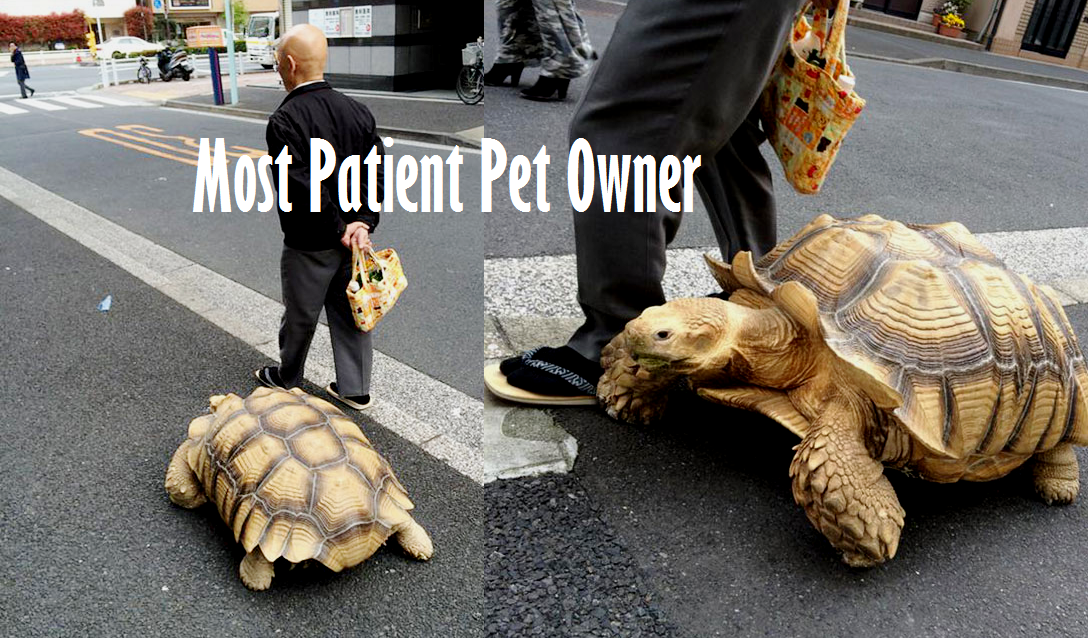 Worlds Most Patient Pet Owner Walks With His Giant African - Man walks pet tortoise through tokyo