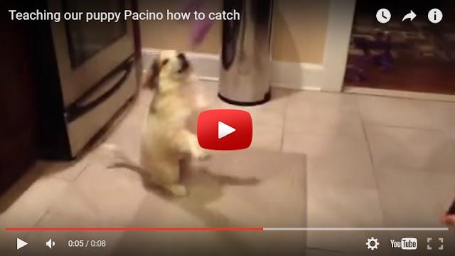 Εκπαιδεύοντας το σκύλο να πιάνει πράγματα...(video)