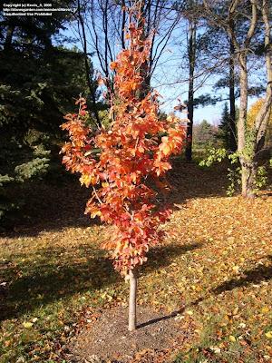 Plant Inventory Parrotia Persica Persian Ironwood