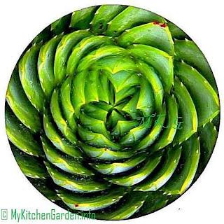 Spiral Aloe Vera Plant