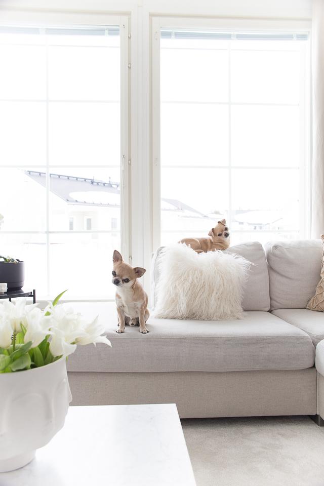 Villa H, chihuahua, koirat, koiran elämää