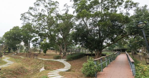 台中沙鹿公館公園,相思樹和大樟樹,整片馬纓丹