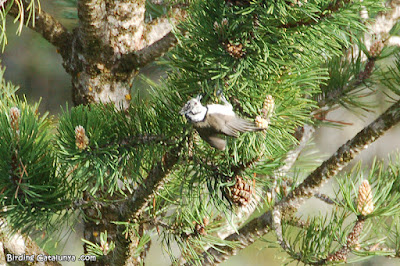 Mallerenga emplomallada (Lophophanes cristatus)