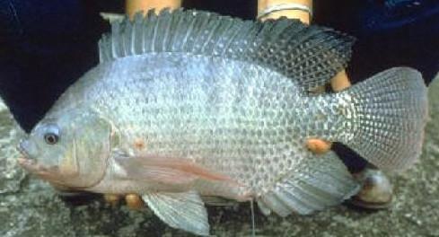 10 Cara Mancing Ikan Nila Besar Di Waduk Dan Sungai Paling Jitu Trik Mancing Ikan
