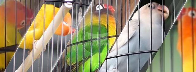 TOP 5! Love Bird Konslet Pendatang Paling Mengancam