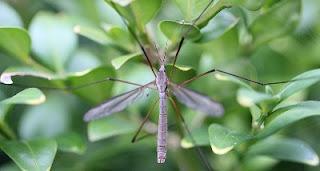 Zanzara puntura