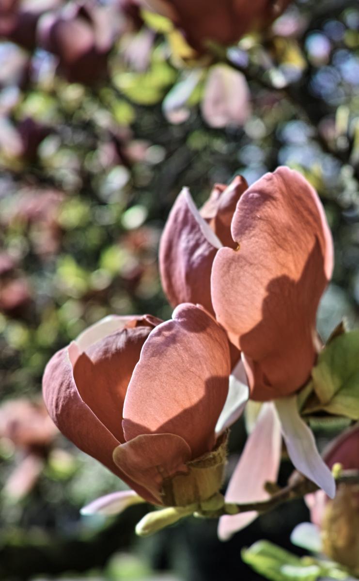 #1 Durchsichtige Magnolien in der Wilhelma