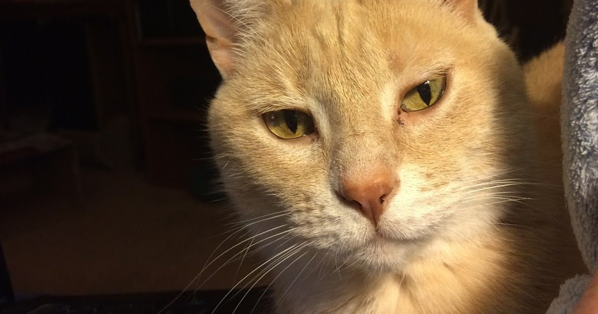 Top Lap Cat Breeds
