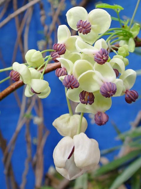Akebia quinata - liane ou vigne chocolat - Page 2 DSC01400