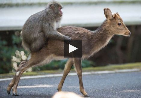 Un singe et une biche filmés en pleine activité sexuelle