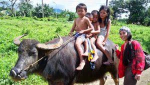 carabao ride