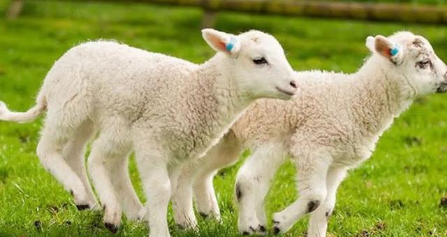 Lamb in Albanian nature