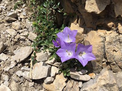 Campanula raineri – Rainer's Bellflower (Campanula dell'arciduca Ranieri).