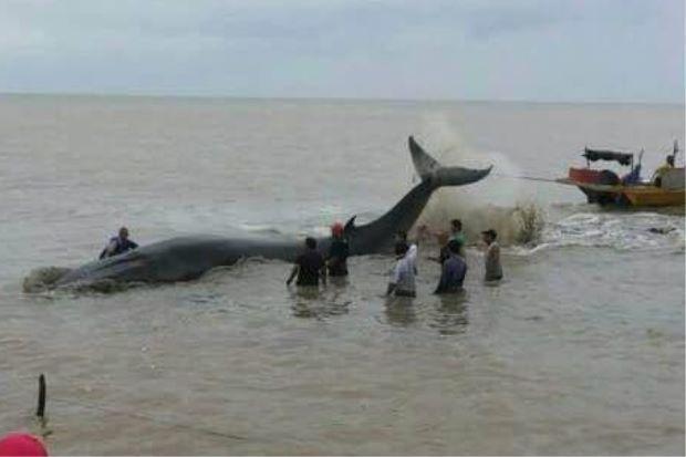 Gambar Ikan Paus Terdampar Di Pantai Rembah