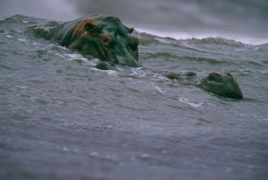 #47 Surfing Hippos, Michael Nichols, 2000 - Top 100 Of The Most Influential Photos Of All Time