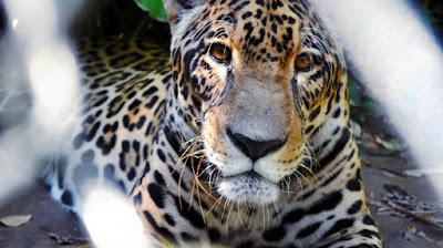 Tigre en uno de los centros que tiene la ONG en Bolivia