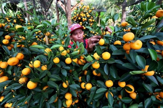 tanaman hias buah jeruk dolar