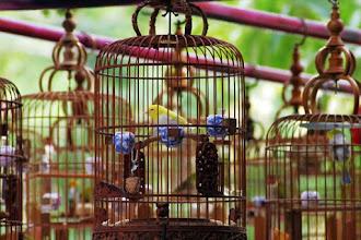 Hukum Islam tentang Lomba Kicauan Burung